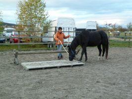 Bild zu Bodenarbeit-  auf Wunsch mit Prüfung zum Basis-Pass Pferdekunde